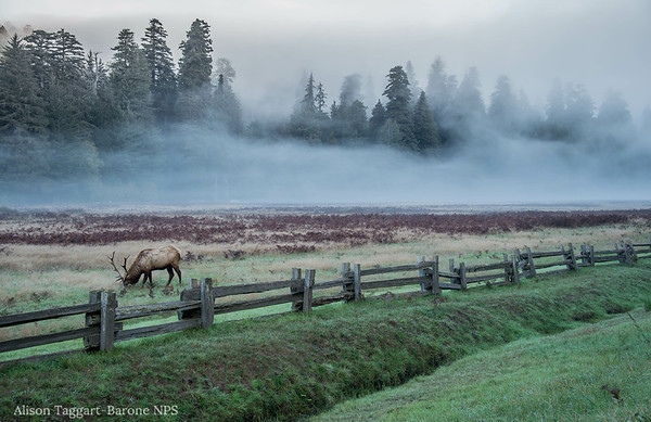 Elk and morning fog, Redwood National and State Park