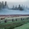Elk and morning fog, Redwood National and State Park