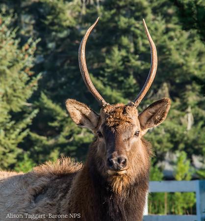Elk, Redwood National and State Park