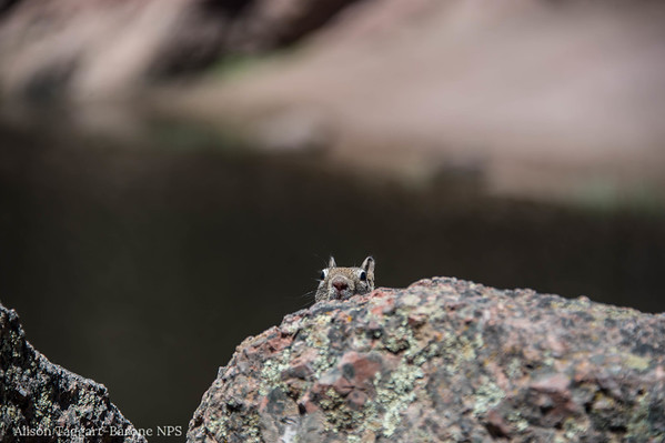 squirrel, Pinnacles National Park