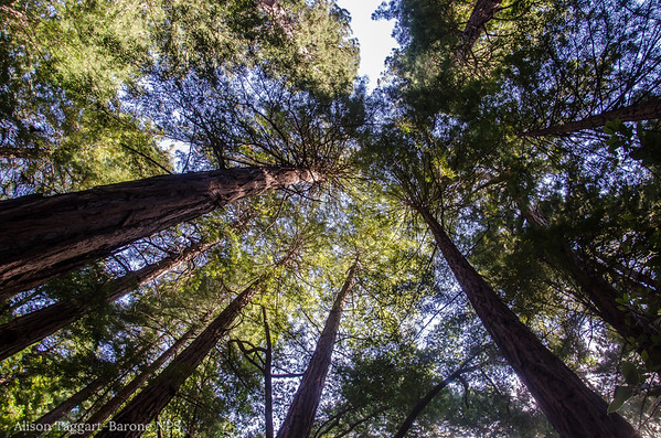 Muir Woods canopy. Photo by Alison Taggart-Barone NPS