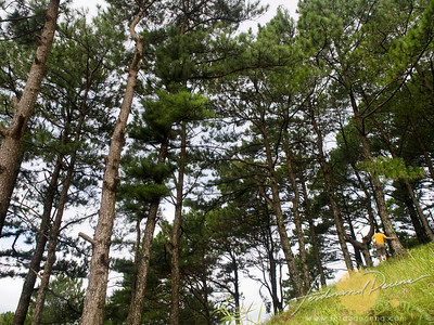 Malico Pine Forest