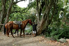 A young paniolo prepares trail horses for a Waipio Valley ride.
