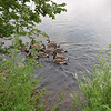 Lots of geese in the river--all ages.