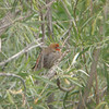 Another house finch.