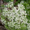 Queen Anne's Lace?