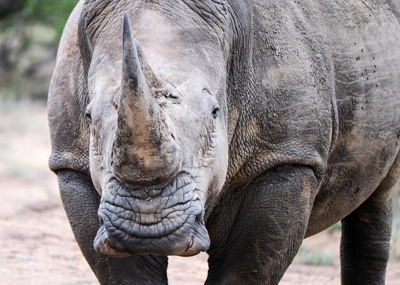 Adult Male White Rhino, Manyeleti Game Reserve, South Africa