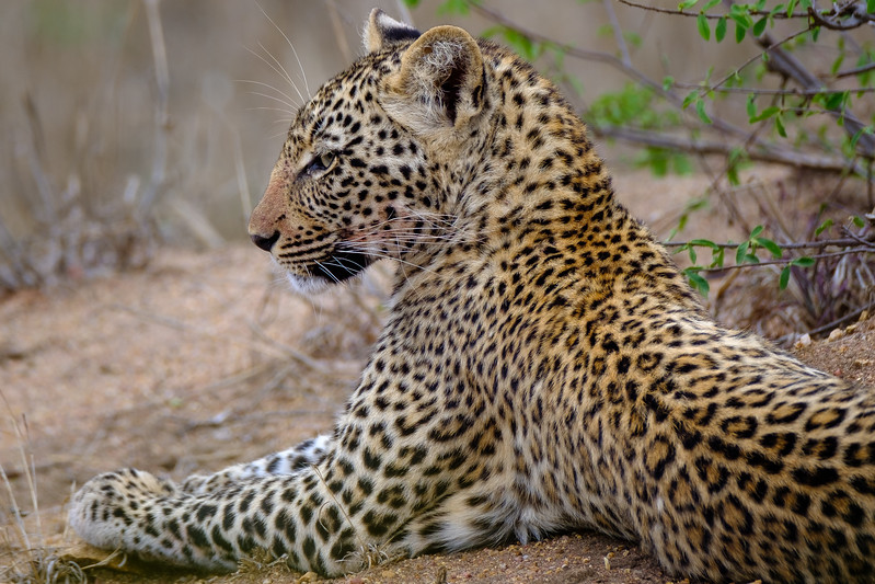 Leopard, Manyeleti Game Reserve, South Africa