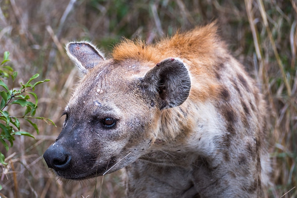Hyena, Manyeleti Game Reserve, South Africa