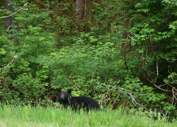 Small black bear near Mt. Baker, Washington.