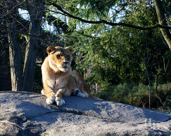 What a stare she has. Lioness looks at the world intently.