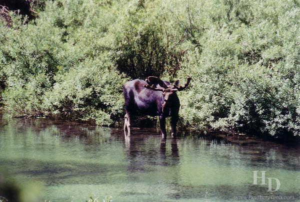 Moose in Grand Teton National Park.