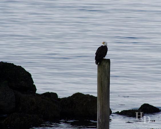 Bald eagle posing.