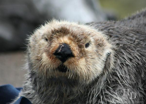 Sea otter at the Oregon Coast Aquarium.