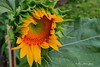 Radiant sunflower_20851