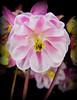 pinkflower2