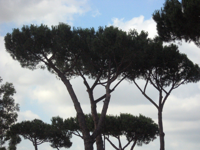 """The next day, we arrive further down the coast of Italy and travel by bus inland about 90 minutes to Rome.  Pictured here--an """"umbrella tree.""""  Actually, it's a pine nut tree."""