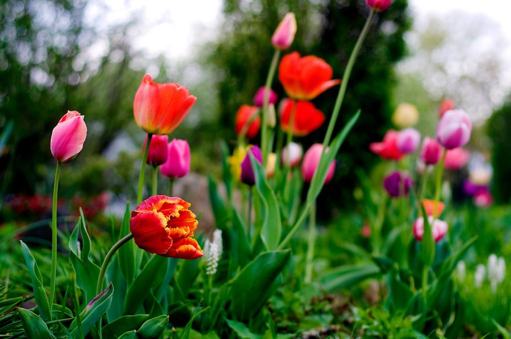 Tulips in Bay Shore