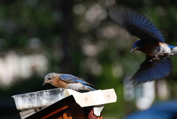 Bluebird5