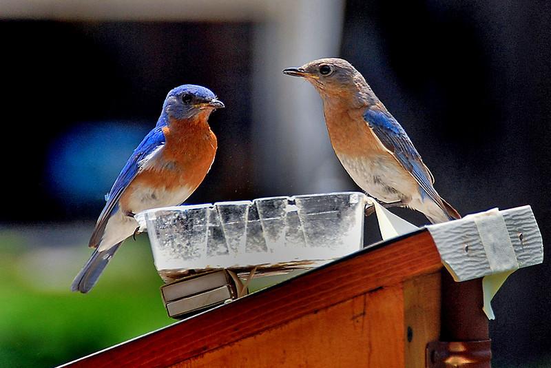 Bluebird1 copy