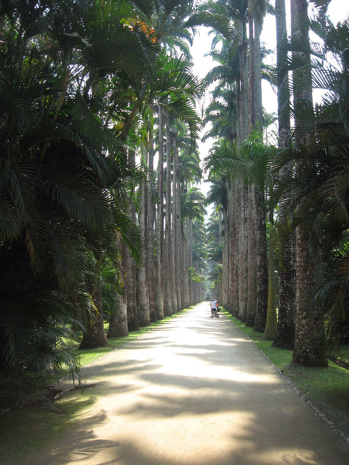 My afternoon was spent at one of Rio's jewels--its Jardim Botanico, celebrating its 201st anniversary.  This photo features the principal entranceway to the botanic garden, lined with Imperial Palms.