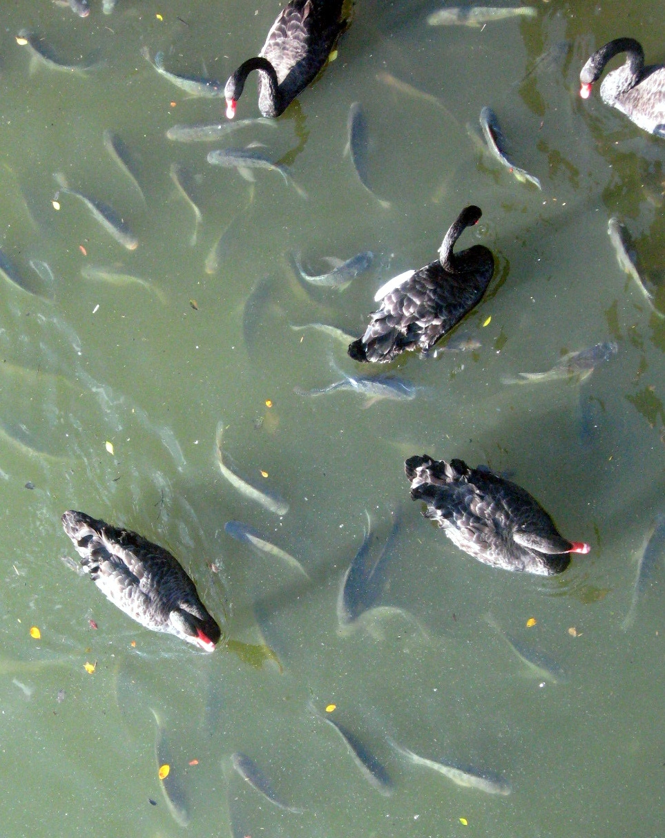 """From a bridge at the Pargue's """"lago"""" (lake), geese and fish intermingle."""