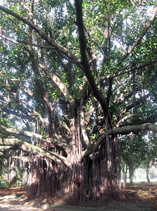 Back into the Parque--a massive sub-tropical tree.
