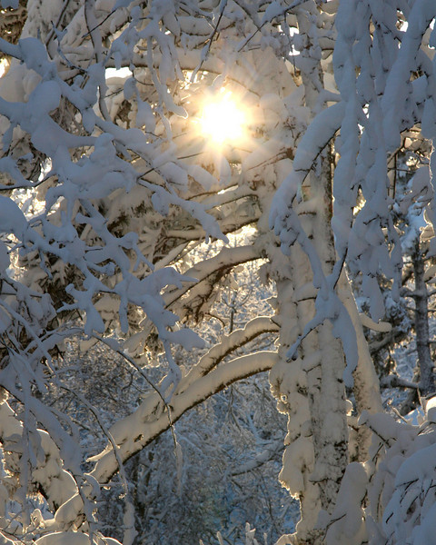 Snow Sun & Birches