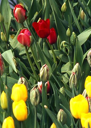 Tulips of Sandwich