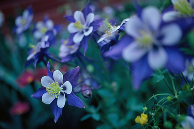 crested_butte_wildflowers_009