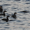 Might be baby loons
