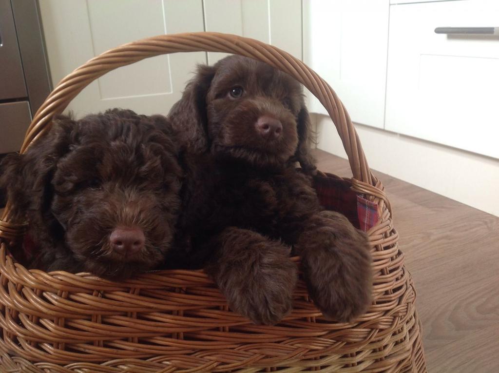 miniature-medium-australian-labradoodle-puppies-54426e964da96