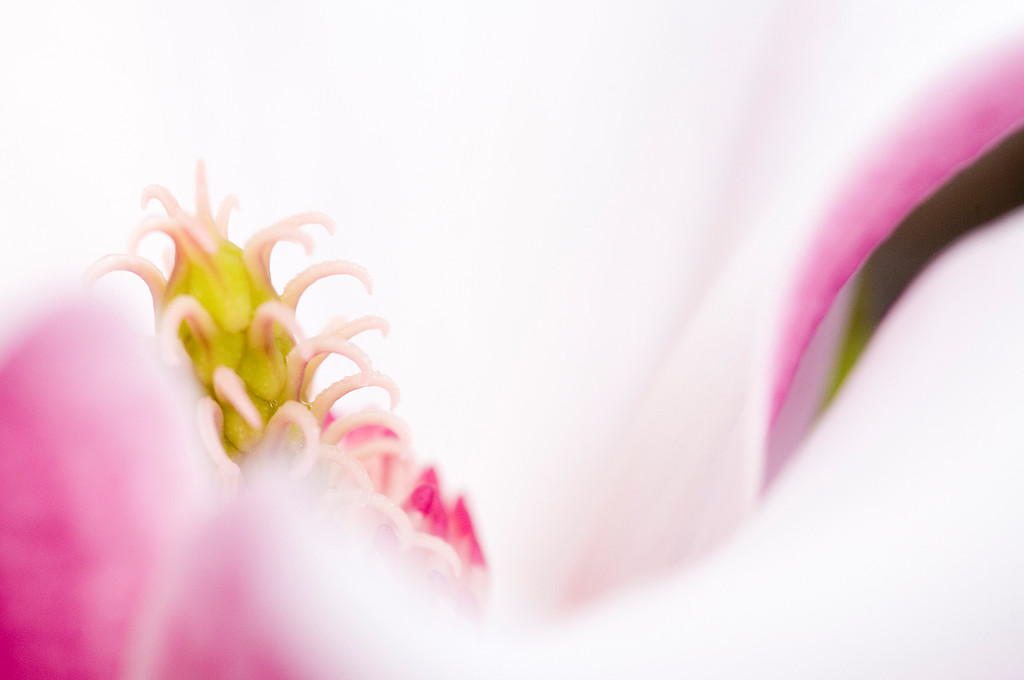 Magnolia close-up