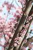 pink cherry blossoms on a tree branch.