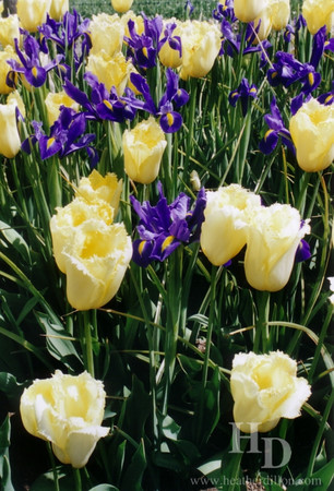 Iris and tulips at the Skagit Valley Tulip Festival