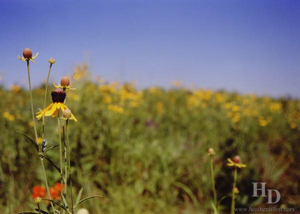 Sunflower on the Iowa prarie.