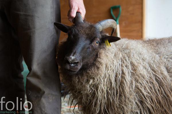 Shearing - May 2017