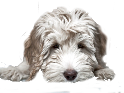 puppy-white-Labradoodle