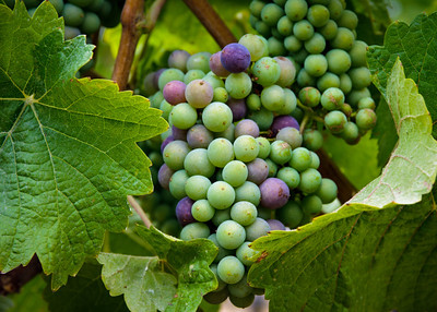 Block 18 - Pinot Noir
