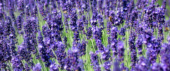 Lavender Garden, Cheshire  Unfortunately I cannot recall the exact location of the farm. It was privately owned. All you have to do is bring a basket and a pair of scissors. At the end, they will weigh your pickings and the amount to pay depends on how much you pick.  What I really like about the place is the tranquility and the smell of fresh air!