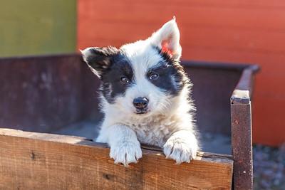 Icelandic Sheepdogs-18