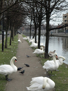 And Irish swans ...