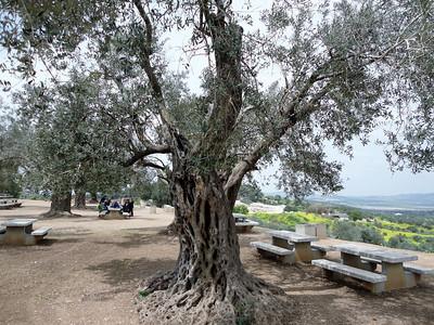 Tree at the Zippori National Park, encompassing the ruins of the ancient Roman- and talmudic-era city of Zippori--in the rolling hills of Lower Galilee.