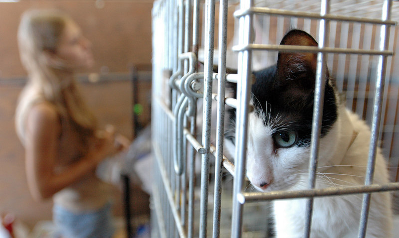 A cat stares out from its cage as Melissa Jones of Bay St. Louis looks for her feline, an orange tabby, at the Humane Society of the United States shelter for animals recovered after Hurricane Katrina at the Forrest County Multipurpose Center off U.S. 49 in Hattiesburg Thursday.