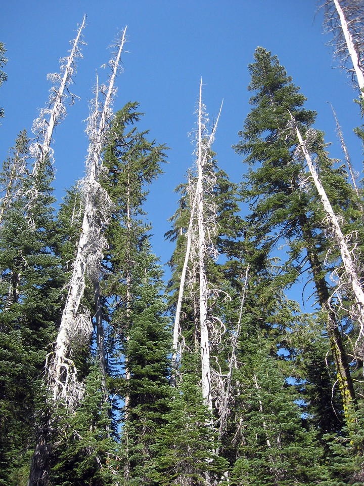 And finally, the Devastated Area--the 1915 eruptions transformed this formerly lush landscape into an area marred by ash, mud and still-hot lava rocks.    New growth has begun to fill in around the stripped tree trunks and barren acreage.