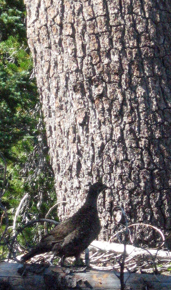 Lassen Park wildlife:  a grouse (?) posing in silhouette against a tree trunk