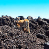 Young goats at 8,000 feet on Mauna Loa