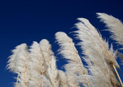 Pampas Grass, Corolla, North Carolina