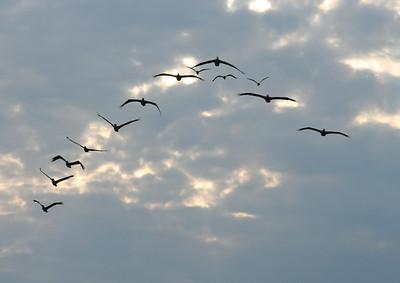 10 Pelicans and 3 Seagulls in flight formation, Kure Beach, North Carolina
