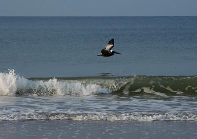 Pelican cruising the waves looking for food, Kure Beach, North Carolina